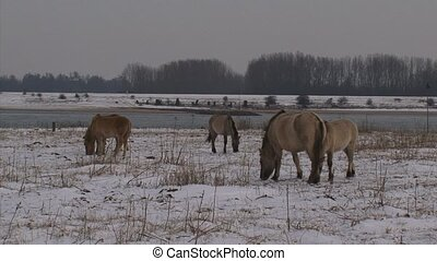 herd of konik horses graze in snow covered river landscape -...