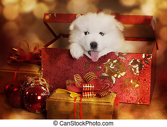 Samoyed puppy in a Christmas box - An adorable Samoyed puppy...
