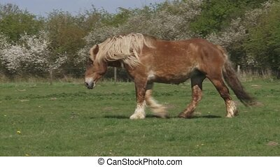 draft horse walking in pasture, spring.