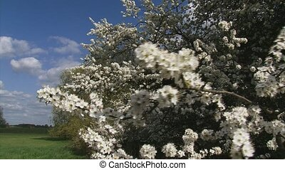 hawthorn blooming branch (Prunus spinosa)