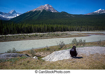 Icefields Parkway Crow - A crow and Mount GEC.