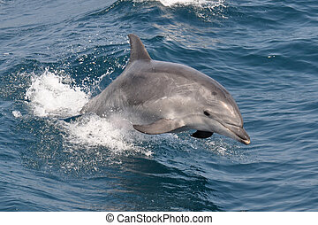 Bottlenose Dolphin jumping out of the waves
