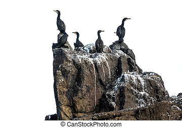 Cormorants isolated - Cormorants bird group standing on a...