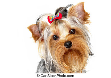 Yorkshire terrier portrait on isolated white background