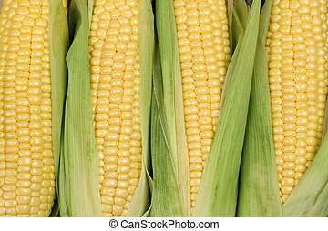 Corn cobs or maize in summer during harvest