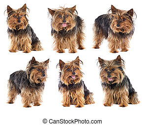 Sequence a nice dog yorkshire - Photo Sequence of a nice dog...