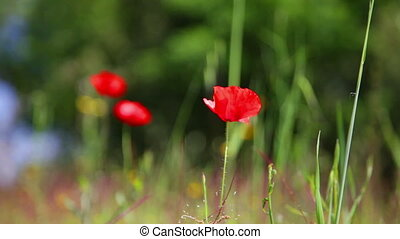 blossoming red poppy shakes on a wind