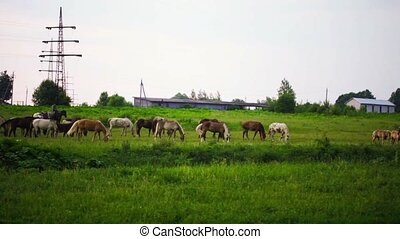 herd of horses is grazed on a summer meadow early in the...