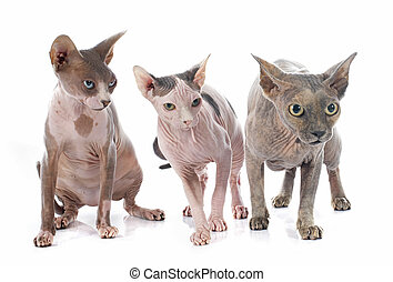 Sphynx Hairless Cats in front of white background