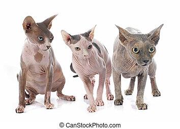Sphynx, hårlös, katter,