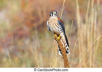 American kestrel sitting on a mullein - American kestrel...