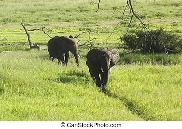 Herd of elephants walking in Tarangire National Park...