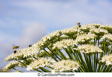Summer airdrome - flower cow-parsnip and set of insects on...