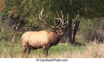 Bull Elk Bugling - a big bull elk bugling in the rut