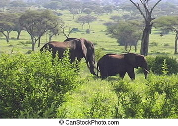 Elephants face off in the Tarangire National Park Tanzania...