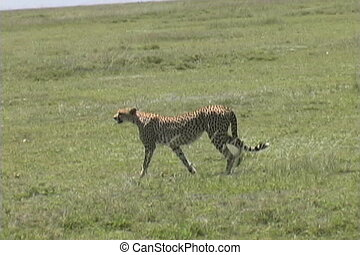Cheetah walking across the Serengeti plains Tanzania Africa
