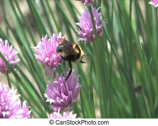 Bumble Bee pollinating chive flowers