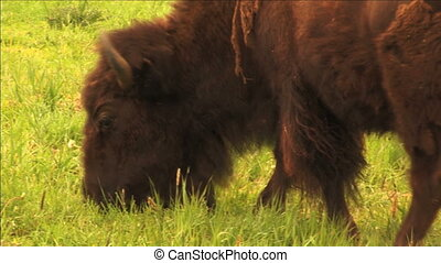 1113 Bison Grazing on Spring Grass Ranchland with Nursing...