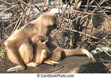 White-handed Gibbon - Lar gibbons are one of the pickiest...
