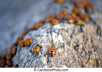 Ladybug Background - portrait of ladybug background template