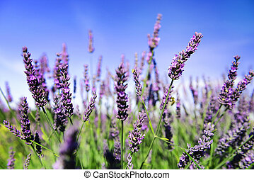 Lavender flowers - Lavender Field in the summer