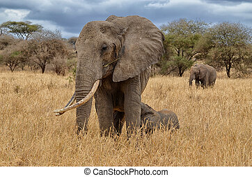 Elephant Nursing - Elephant nursing in the Serengeti...