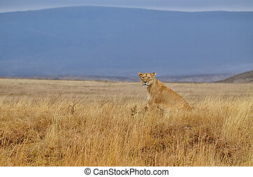 Lonely lioness sitting on the African savanna in the...