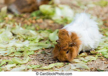long haired white and brown guinea pig eating salad from...