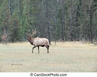 Elk - The chase is on during the rutting season