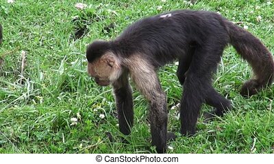 Monkeys, Primates, Zoo Animals - Capuchin Monkeys, Primates,...