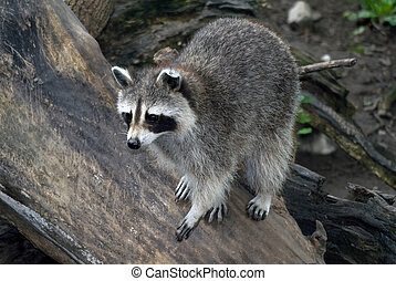 Raccoon - Picture of a wild raccoon on a wooden log