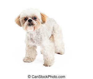 Cute Poodle and Maltese Mix Breed Dog Standing - A cute...