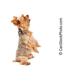 Cute Yorkshire Terrier Puppy Begging With Open Mouth - A...