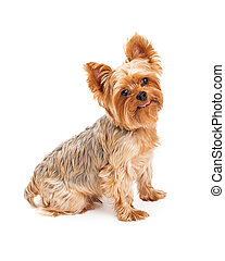 Hungry Yorkshire Terrier Puppy With Tongue Sticking Out - A...