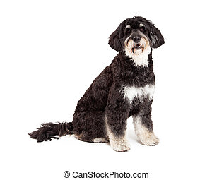 Obedient Poodle Mix Breed Dog Sitting