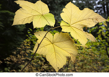 Three vine maple leaves. - The backlit part of the large...
