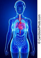 femininas, Coração, anatomia,