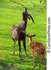 antelope 04