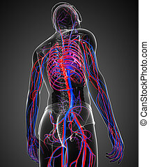 Male circulatory system - Illustration of Male circulatory...