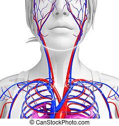 human, pescoço, circulatório, sistema,
