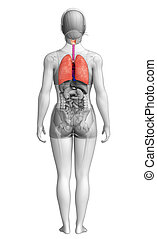 Female lungs anatomy - Illustration of female lungs anatomy