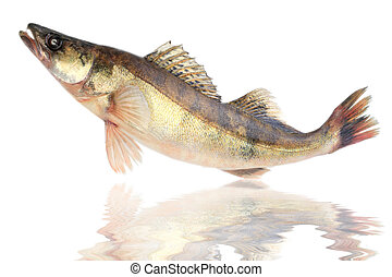 Large pike perch isolated on a white background