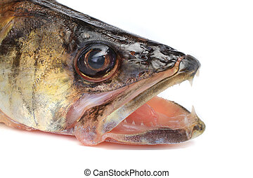 Large pike perch - portrait large pike perch isolated on a...