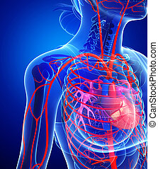 Female heart arteries - Illustration of Female heart...