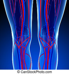 Knee circulatory system - Illustration of Knee circulatory...