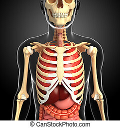 Male skeleton and digestive system - Illustration of male...