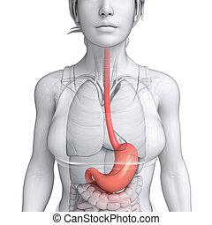 Estómago, anatomía, de, hembra,