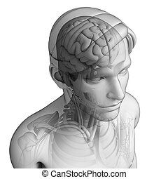 Human head anatomy - Illustration of human head anatomy
