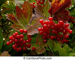 red viburnum - beautiful clusters of red viburnum among...