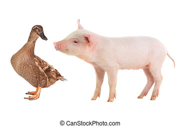 pig and duck on a white background. studio